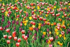 Tulipanes en el jardín Imagen de archivo libre de regalías