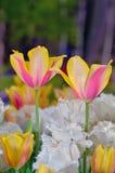 Tulipanes en el jardín Foto de archivo libre de regalías