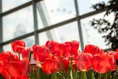 Tulipanes en el jardín de Singapur por la bahía Fotos de archivo