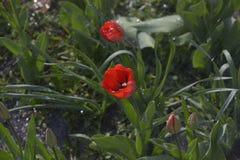 Tulipanes en el jardín del resorte Fotografía de archivo libre de regalías