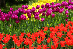 Tulipanes en el macizo de flores imagen de archivo