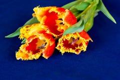 Tulipanes en el paño azul Fotografía de archivo libre de regalías