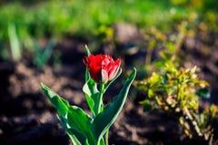 Tulipanes en el parque Imagen de archivo libre de regalías