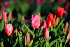 Tulipanes en el parque Foto de archivo