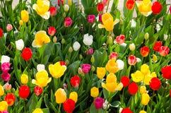 Tulipanes en el parque imágenes de archivo libres de regalías