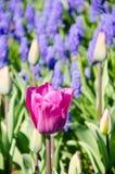 Tulipanes en el parque foto de archivo libre de regalías