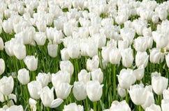 Tulipanes en el parque fotos de archivo