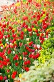 Tulipanes en el parque fotografía de archivo