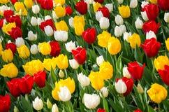 Tulipanes en el parque imagenes de archivo