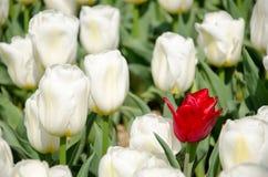 Tulipanes en el parque fotos de archivo libres de regalías