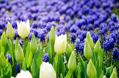 Tulipanes en el parque imagen de archivo