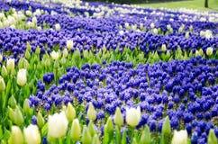 Tulipanes en el parque fotografía de archivo libre de regalías