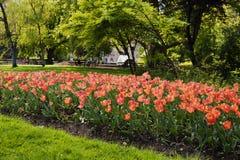 Tulipanes en el parque de Viena austria foto de archivo