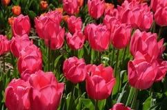 Tulipanes en Estambul Fotografía de archivo libre de regalías