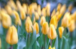 Tulipanes en foco selectivo Imagenes de archivo