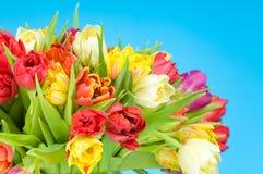 Tulipanes en fondo azul Fotos de archivo libres de regalías