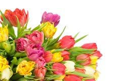 Tulipanes en fondo azul Imagen de archivo libre de regalías