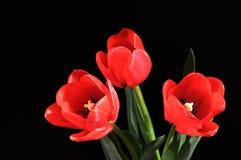 Tulipanes en fondo negro Imágenes de archivo libres de regalías