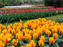 Tulipanes en holandés los jardines de Keukenhof, Países Bajos Imágenes de archivo libres de regalías