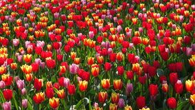 Tulipanes en Holanda Imagen de archivo libre de regalías