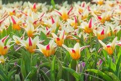 Tulipanes en Holanda Imagen de archivo