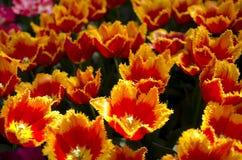Tulipanes en Holanda fotografía de archivo libre de regalías