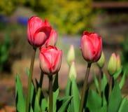 Tulipanes en jardín Fotos de archivo libres de regalías