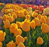 Tulipanes en jardín de flores fotografía de archivo libre de regalías