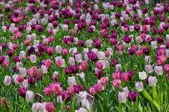 Tulipanes en jardín del brookside Fotos de archivo