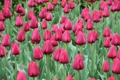 Tulipanes en jardín del resorte Foto de archivo