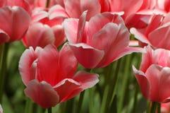 Tulipanes en Keukenhof Fotografía de archivo libre de regalías