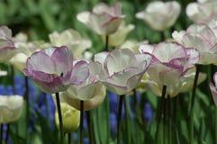Tulipanes en Keukenhof Foto de archivo