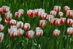 Tulipanes en Keukenhof Imagen de archivo libre de regalías