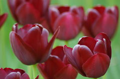 Tulipanes en Keukenhof Fotos de archivo libres de regalías