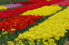Tulipanes en Keukenhof Fotos de archivo