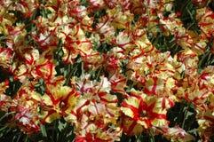 Tulipanes en Keukenhof Imágenes de archivo libres de regalías