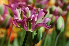 Tulipanes en Keukenhof Imagenes de archivo