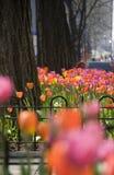 Tulipanes en la avenida de Michigan Imagen de archivo libre de regalías