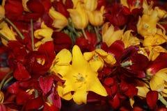 Tulipanes en la cesta Fotografía de archivo