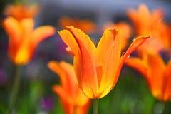 Tulipanes en la floración Imagen de archivo libre de regalías