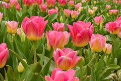 Tulipanes en la floración fotos de archivo libres de regalías