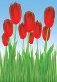 Tulipanes en la hierba Fotos de archivo
