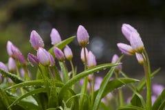 Tulipanes en la lluvia Imágenes de archivo libres de regalías