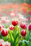 Tulipanes en la lluvia Imagen de archivo