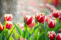 Tulipanes en la lluvia Imagen de archivo libre de regalías