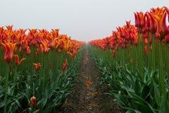 Tulipanes en la niebla Imágenes de archivo libres de regalías