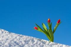 Tulipanes en la nieve Fotografía de archivo