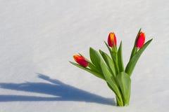 Tulipanes en la nieve Fotos de archivo