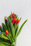 Tulipanes en la nieve Imagen de archivo libre de regalías