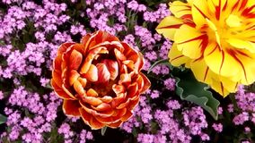 Tulipanes en la plena floración almacen de metraje de vídeo